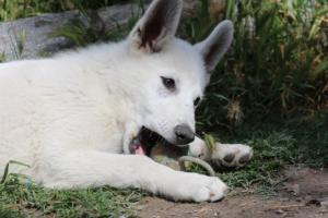 White-Swiss-Shepherd-Puppies-BTWWI-May-2019-0037