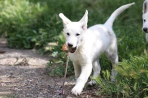 White-Swiss-Shepherd-Puppies-BTWWI-May-2019-0038