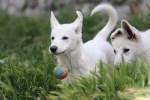 White-Swiss-Shepherd-Puppies-BTWWI-May-2019-0039