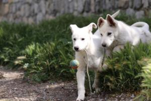 White-Swiss-Shepherd-Puppies-BTWWI-May-2019-0040