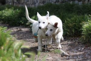 White-Swiss-Shepherd-Puppies-BTWWI-May-2019-0041