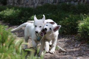 White-Swiss-Shepherd-Puppies-BTWWI-May-2019-0042