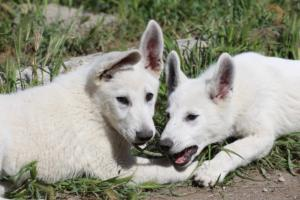 White-Swiss-Shepherd-Puppies-BTWWI-May-2019-0044