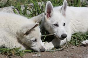 White-Swiss-Shepherd-Puppies-BTWWI-May-2019-0045