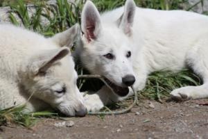 White-Swiss-Shepherd-Puppies-BTWWI-May-2019-0046