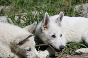 White-Swiss-Shepherd-Puppies-BTWWI-May-2019-0047
