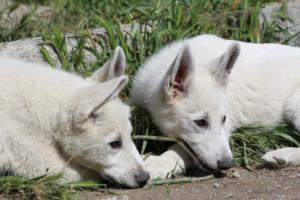 White-Swiss-Shepherd-Puppies-BTWWI-May-2019-0048