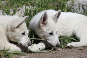 White-Swiss-Shepherd-Puppies-BTWWI-May-2019-0049