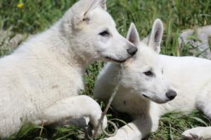 White-Swiss-Shepherd-Puppies-BTWWI-May-2019-0050