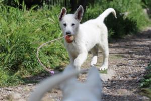 White-Swiss-Shepherd-Puppies-BTWWI-May-2019-0052