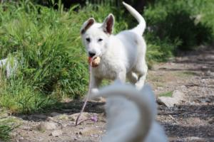 White-Swiss-Shepherd-Puppies-BTWWI-May-2019-0053