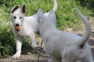 White-Swiss-Shepherd-Puppies-BTWWI-May-2019-0054