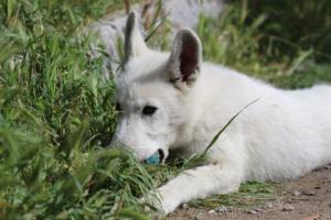 White-Swiss-Shepherd-Puppies-BTWWI-May-2019-0055
