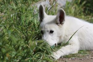 White-Swiss-Shepherd-Puppies-BTWWI-May-2019-0056