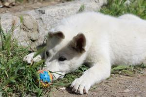 White-Swiss-Shepherd-Puppies-BTWWI-May-2019-0057