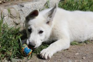White-Swiss-Shepherd-Puppies-BTWWI-May-2019-0060