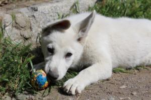 White-Swiss-Shepherd-Puppies-BTWWI-May-2019-0061
