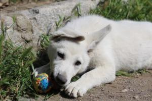 White-Swiss-Shepherd-Puppies-BTWWI-May-2019-0062