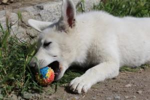 White-Swiss-Shepherd-Puppies-BTWWI-May-2019-0063