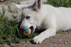 White-Swiss-Shepherd-Puppies-BTWWI-May-2019-0064