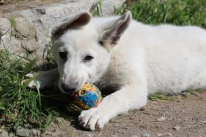 White-Swiss-Shepherd-Puppies-BTWWI-May-2019-0065