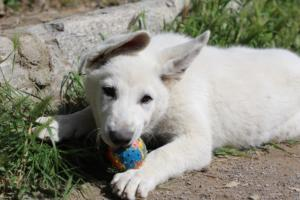 White-Swiss-Shepherd-Puppies-BTWWI-May-2019-0066