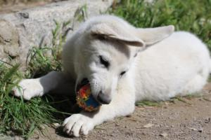 White-Swiss-Shepherd-Puppies-BTWWI-May-2019-0067