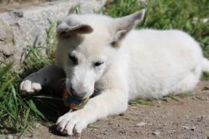 White-Swiss-Shepherd-Puppies-BTWWI-May-2019-0068