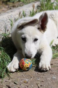 White-Swiss-Shepherd-Puppies-BTWWI-May-2019-0071