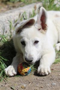 White-Swiss-Shepherd-Puppies-BTWWI-May-2019-0072