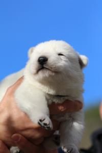 White-Dog-Puppies-Monaco-BTWW-I-Puppies-090319-0001