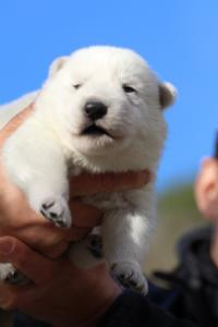 White-Dog-Puppies-Monaco-BTWW-I-Puppies-090319-0004