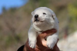 White-Dog-Puppies-Monaco-BTWW-I-Puppies-090319-0007