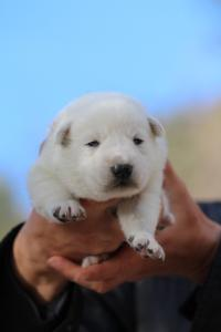 White-Dog-Puppies-Monaco-BTWW-I-Puppies-090319-0021