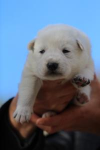 White-Dog-Puppies-Monaco-BTWW-I-Puppies-090319-0022