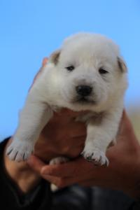 White-Dog-Puppies-Monaco-BTWW-I-Puppies-090319-0023