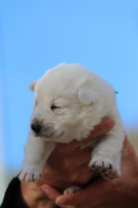 White-Dog-Puppies-Monaco-BTWW-I-Puppies-090319-0024