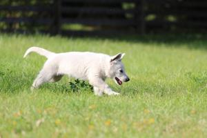 White-Swiss-Shepherd-Puppy-BTWW-Jetfire-270815-0001