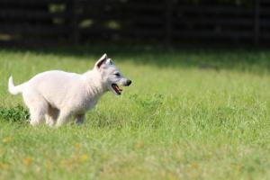 White-Swiss-Shepherd-Puppy-BTWW-Jetfire-270815-0002