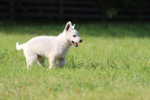 White-Swiss-Shepherd-Puppy-BTWW-Jetfire-270815-0004