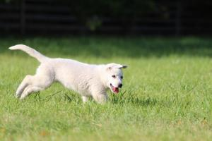 White-Swiss-Shepherd-Puppy-BTWW-Jetfire-270815-0005