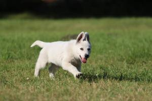 White-Swiss-Shepherd-Puppy-BTWW-Jetfire-270815-0011