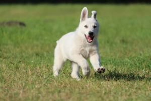White-Swiss-Shepherd-Puppy-BTWW-Jetfire-270815-0012