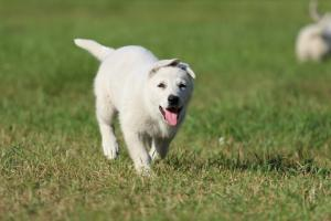 White-Swiss-Shepherd-Puppy-BTWW-Jetfire-270815-0013