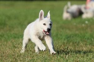 White-Swiss-Shepherd-Puppy-BTWW-Jetfire-270815-0014