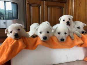 BTWW L Litter Puppies1