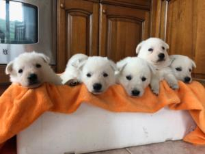 BTWW L Litter Puppies4