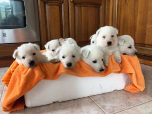 BTWW L Litter Puppies7