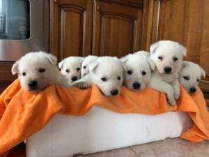 BTWW L Litter Puppies8
