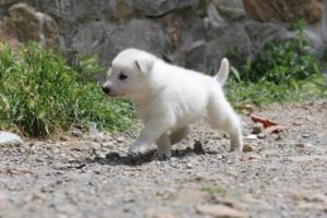 Puppies-Malinois-White-Shepherd-20190003